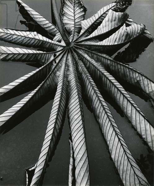 Leaf, Hilo, 1978 (silver gelatin print)