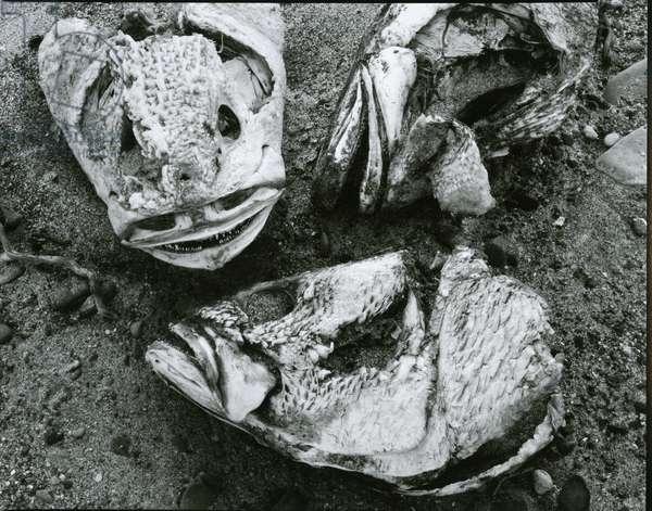 Dead Fish, Bones, Sand, c. 1965 (silver gelatin print)