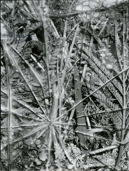 Leaves and Ice, Alaska, 1954 (silver gelatin print)