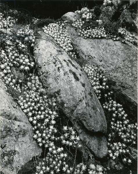 Rock and Botanicals, California, 1955 (silver gelatin print)