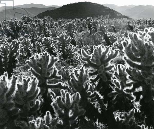 Cactus and Landscape, c. 1940 (silver gelatin print)