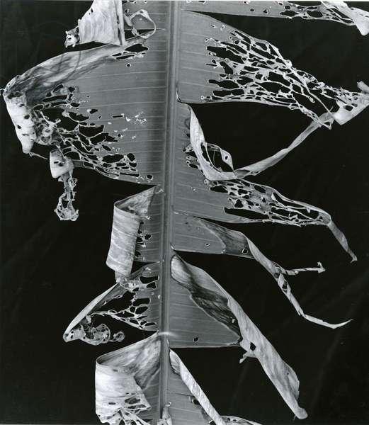 Torn Leaf, Hawaii, 1978 (silver gelatin print)