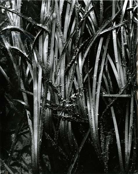 Grass and Water, c. 1970 (silver gelatin print)
