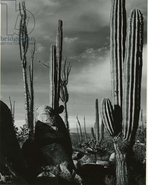 Cactus, Baja, California, 1968 (silver gelatin print)