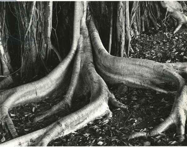 Banyan Roots, Hawaii, 1979 (silver gelatin print)
