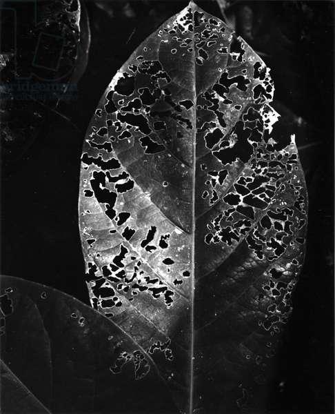 Leaf, Hawaii, c. 1985 (silver gelatin print)