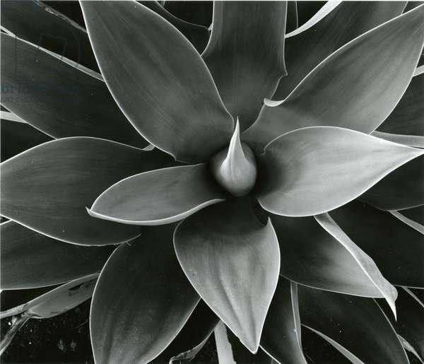 Century Plant, c. 1980 (silver gelatin print)