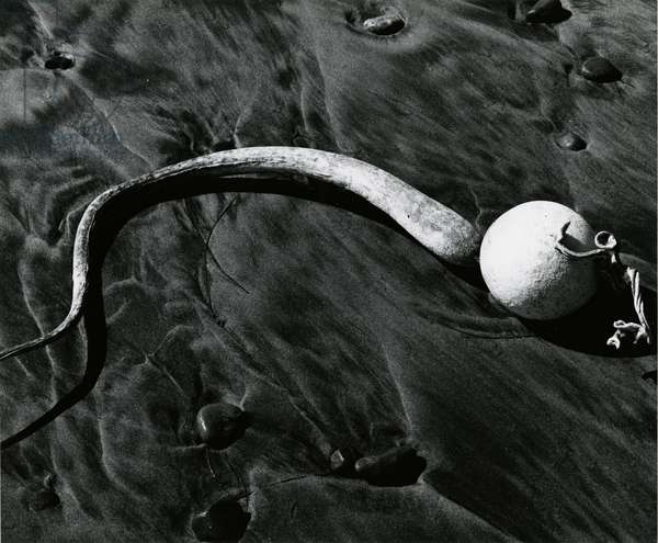 Kelp, Baja, California, c. 1967 (silver gelatin print)