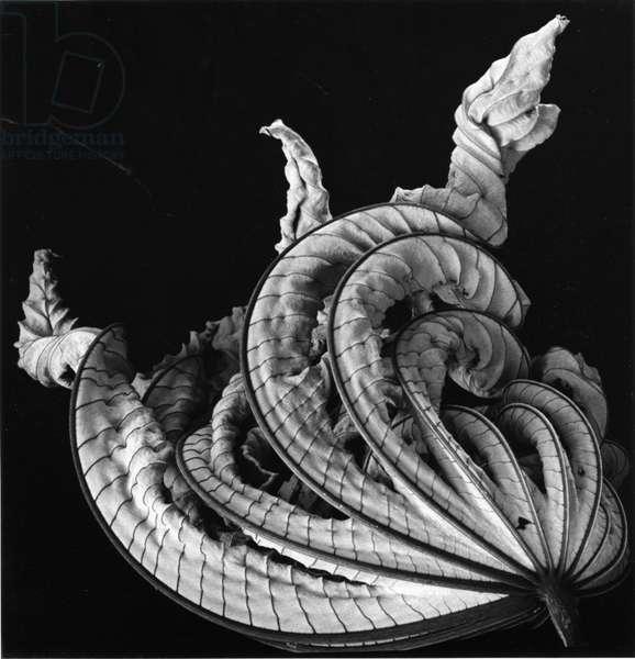 Dead Leaf, Hawaii, 1982 (silver gelatin print)
