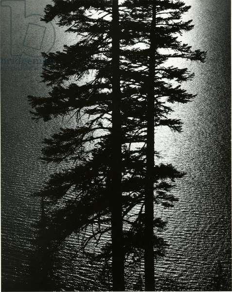 Oregon Pines, 1967 (silver gelatin print)