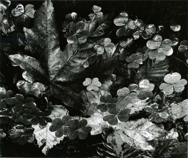 Leaves and Clover, Oregon, 1977 (silver gelatin print)