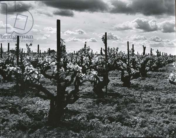 Vineyard, Landscape, c. 1955 (silver gelatin print)