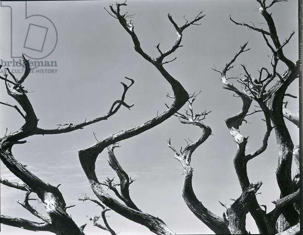 Trees, c. 1935 (silver gelatin print)