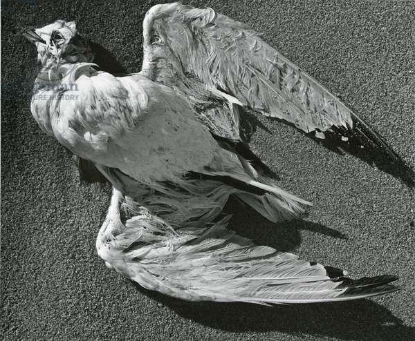Bird, Sand , c. 1970 (silver gelatin print)