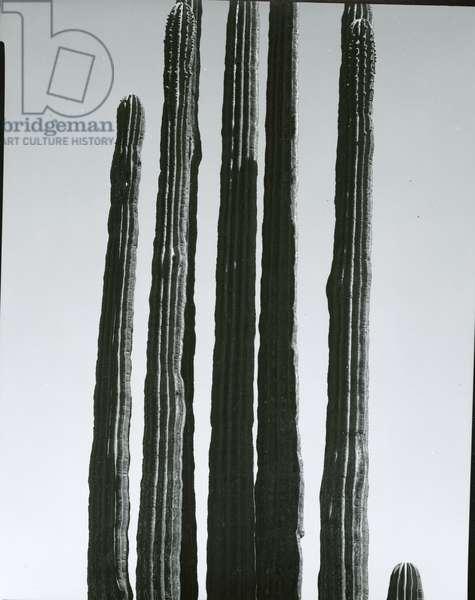 Cactus, Baja, c.1965 (silver gelatin print)
