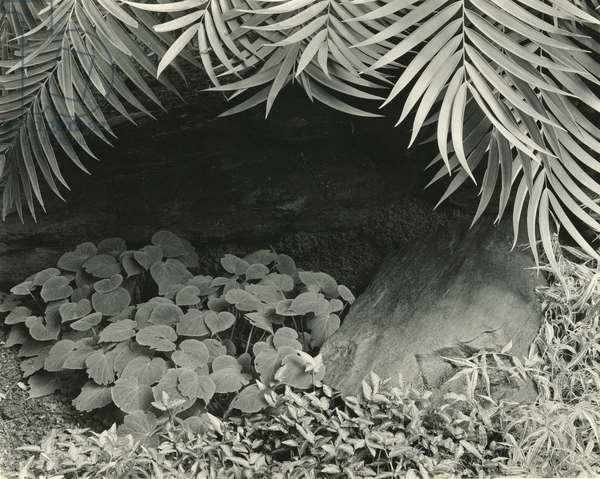Plants, Bronx Botanical Garden, New York, 1945 (silver gelatin print)