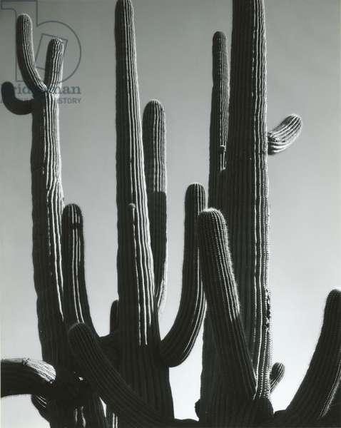 Cactus, Saguaros, Arizona, 1964 (silver gelatin print)