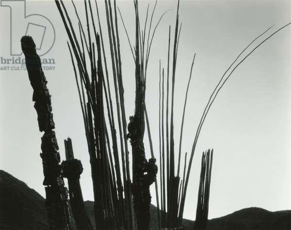 Cactus, Baja California, 1965 (silver gelatin print)