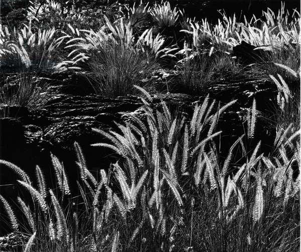 Plants and Lava, Hawaii, 1980 (silver gelatin print)