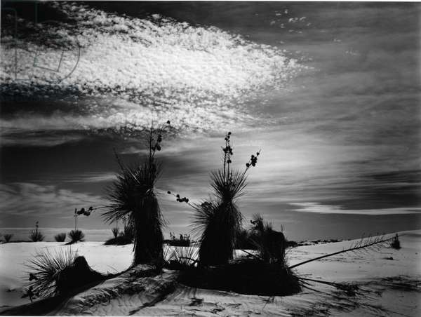 Yucca and Dunes, White Sands, 1947 (silver gelatin print)