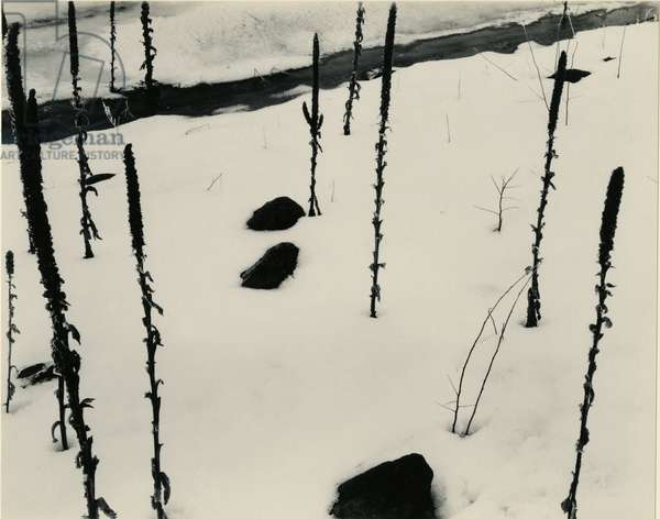 Plants and Snow, Nevada, 1953 (silver gelatin print)