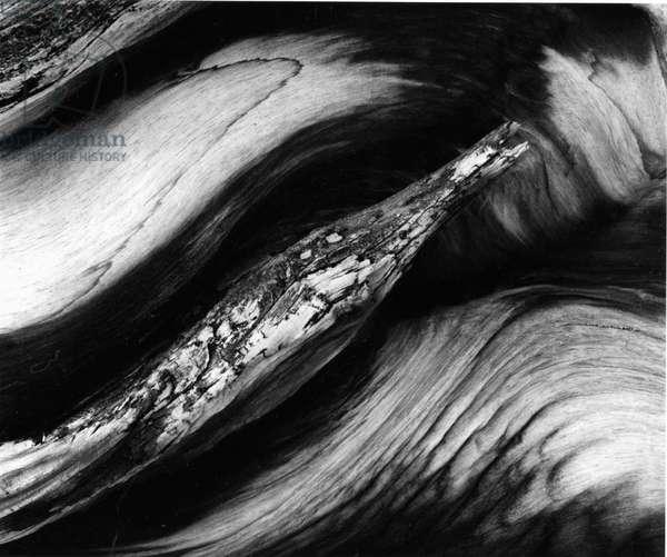 Tree Bark, 1977 (silver gelatin print)