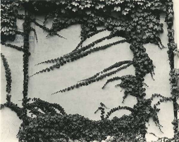 Ivy On Wall, New York, 1945 (silver gelatin print)