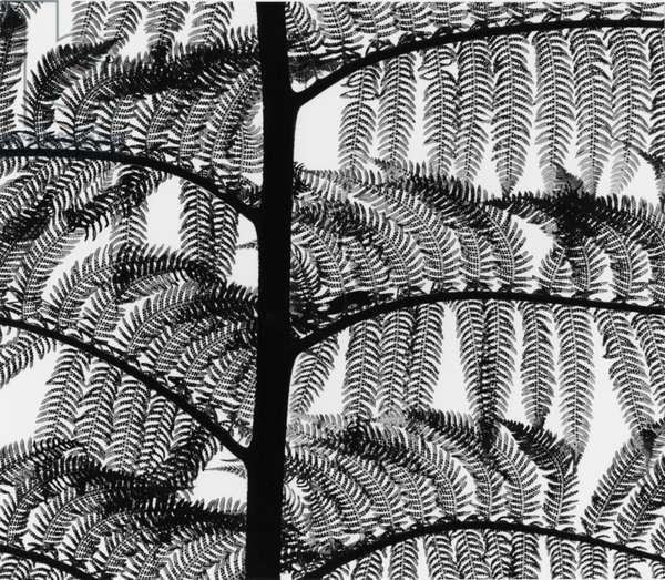 Fern, California, 1954 (printed 1973) (silver gelatin print)