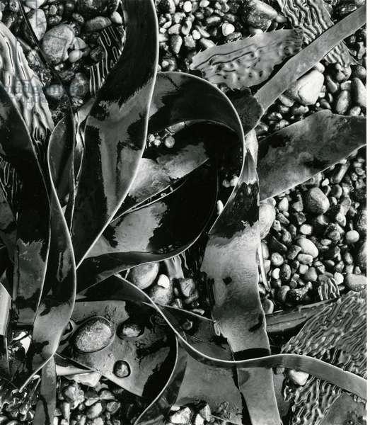 Kelp, Point Lobos, 1973 (silver gelatin print)