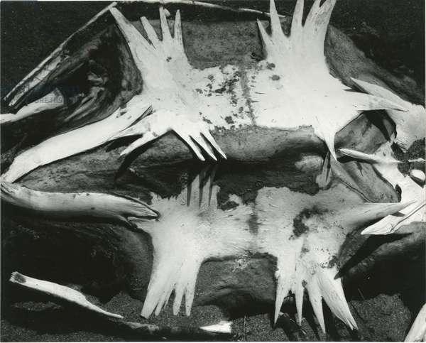 Turtle Skeleton, Baja, California, 1964 (silver gelatin print)