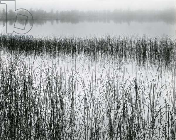 Reeds and Fog, Michigan, 1957 (silver gelatin print)