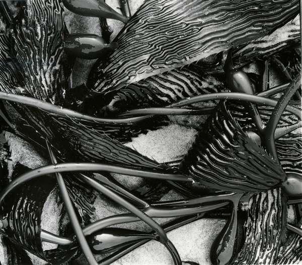 Kelp, c. 1965 (silver gelatin print)