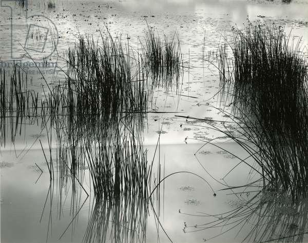 Reeds, France, 1960 (silver gelatin print)