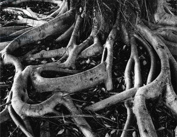 Banyan Roots, Hawaii, 1978 (silver gelatin print)