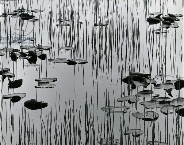 Reeds and Lily Pads, Alaska, 1977 (silver gelatin print)
