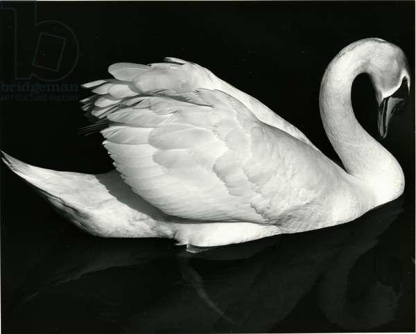 Swan, Europe, 1971 (silver gelatin print)