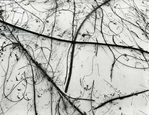 Branches and Sand, White Sands, 1950 (silver gelatin print)