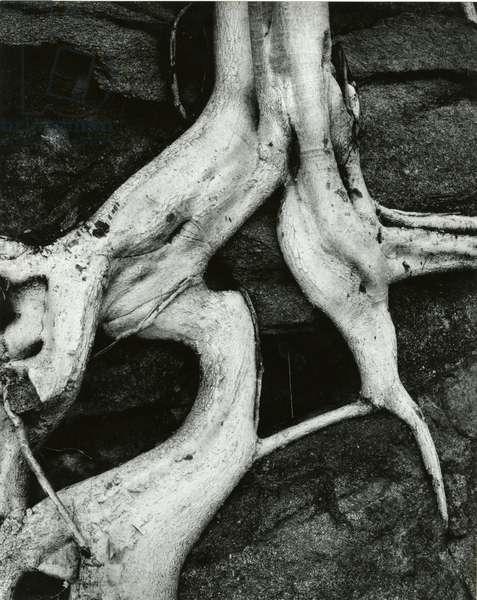 Roots, Baja, California, 1966 (silver gelatin print)