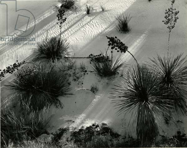 Yucca, White Sands, 1946 (Printed 1975) (silver gelatin print)