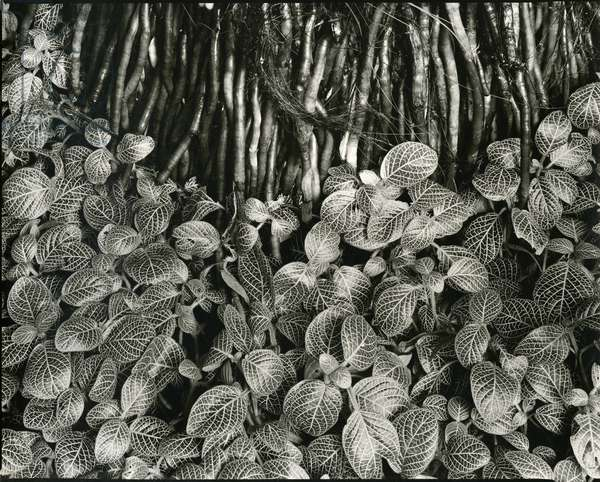 Plants and Roots, Bronx Botanical Garden, c. 1950 (silver gelatin print)