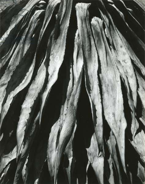 Dead Succulent, Baja, California, 1964 (silver gelatin print)