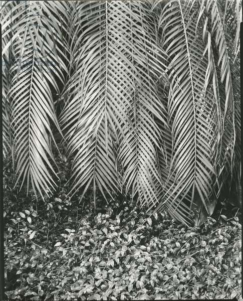 Fern, Small Leaves, Bronx Botanical Garden, New York, 1945 (silver gelatin print)