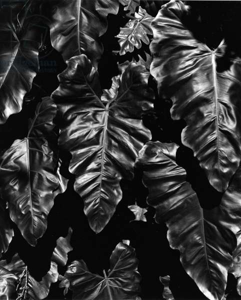 Leaves, Hawaii, c. 1985 (silver gelatin print)