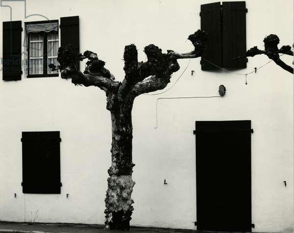 Windows and Pruned Tree, Spain, 1960 (silver gelatin print)