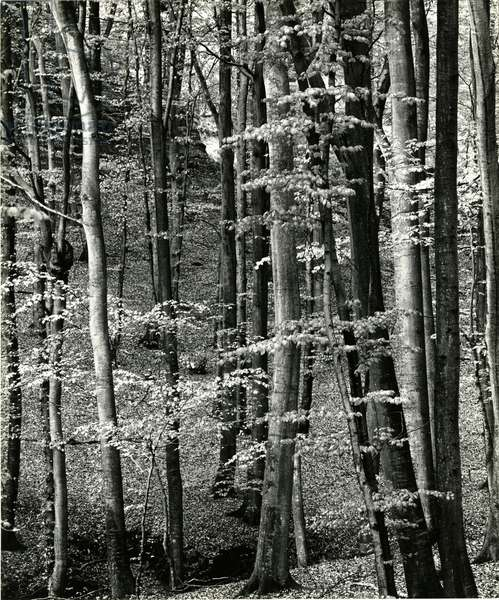 Beech Forest, Luxembourg, 1971 (silver gelatin print)