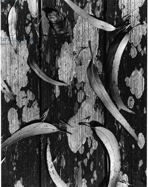 Leaves and Wood, c. 1950 (silver gelatin print)