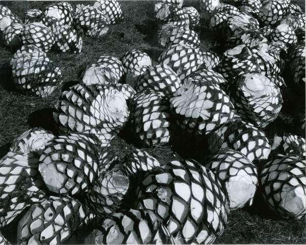 Palm Cores, Mexico, 1964 (silver gelatin print)