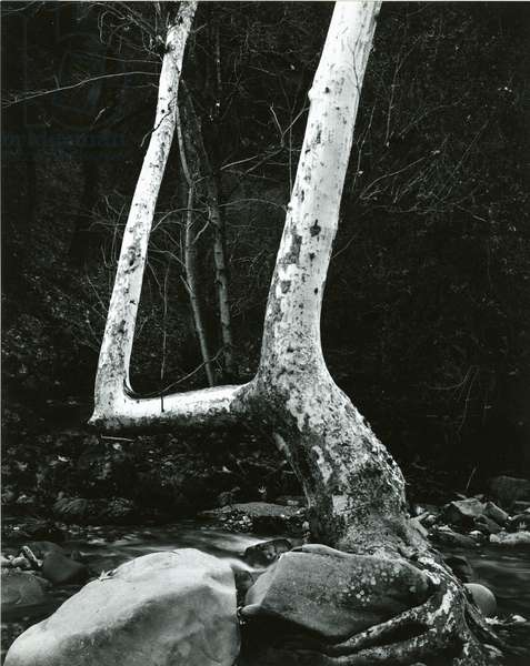 Tree and Rock, 1967 (silver gelatin print)