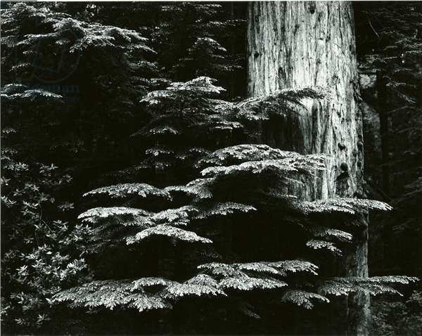 Redwood, California, 1964 (silver gelatin print)