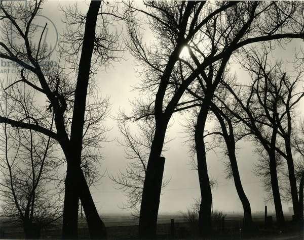 Trees, 1958 (silver gelatin print)